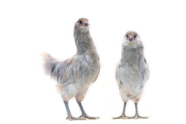 Due polli blu di ameraucana su fondo bianco