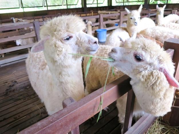 Due simpatici alpaca bianchi mangiano erba in fattoria con il relax e il divertimento.