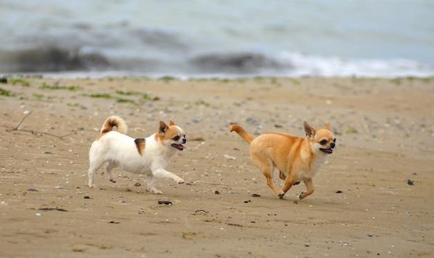 Due simpatici cani chihuahua sulla spiaggia