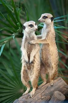 Due suricati stanno in guardia tenendosi
