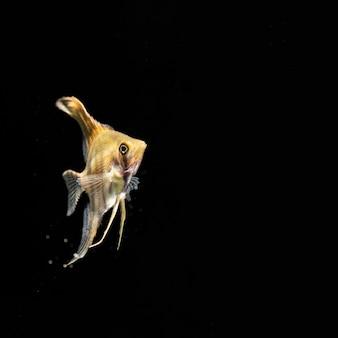 Dumbo betta splendens giallo combattendo i pesci