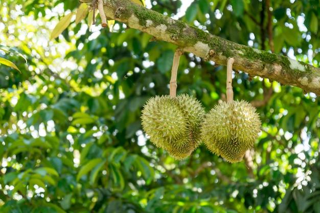 Durian fresco sul suo albero
