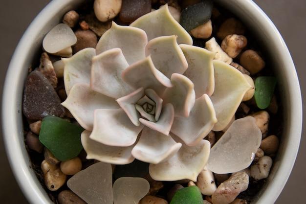 Echeveria, pianta succulenta in vaso. pianta decorativa interna succulenta rara