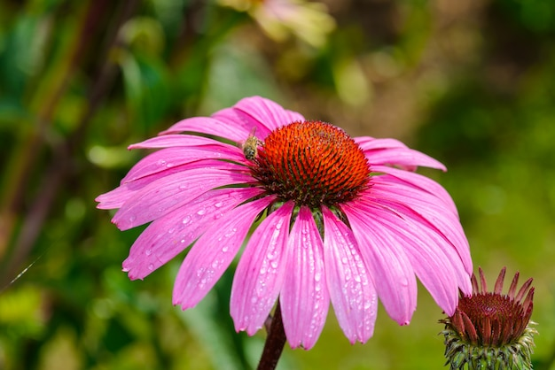 Echinacea purpurea (purple echinacea) una pianta popolare per attirare l'ape