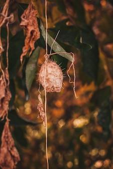 Echinocystis lobata, cetriolo selvatico, cetriolo spinoso, specie di piante invasive, capsula secca di frutta su quercia in autunno.