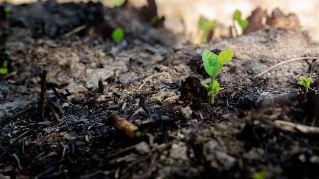 Ecologia e crescita degli alberi nella zona forestale bruciata a macchia d'olio
