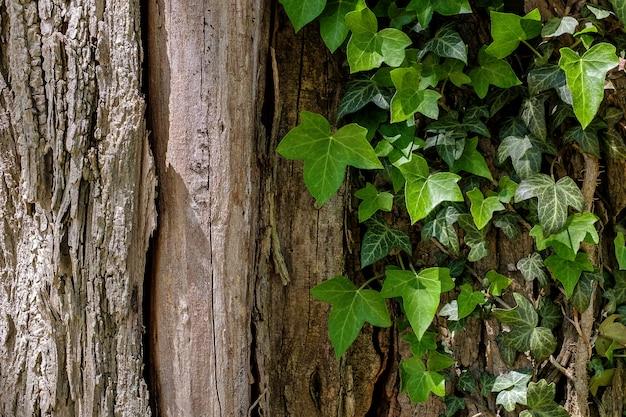Edera contro tronco desaturato