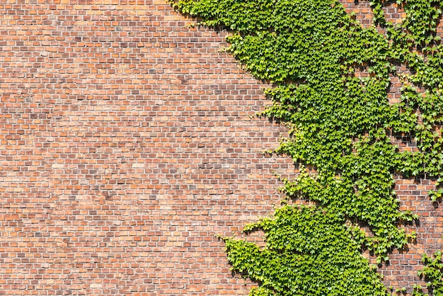 Edera ricoperta di foglie e muro di mattoni invaso per sfondi.