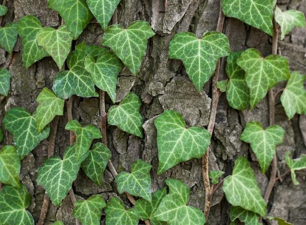 Edera tessuta sulla corteccia di un vecchio albero