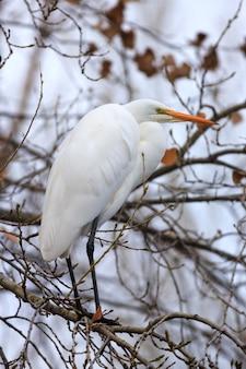 Egretta di snowy che si appollaia nel verticale di inverno