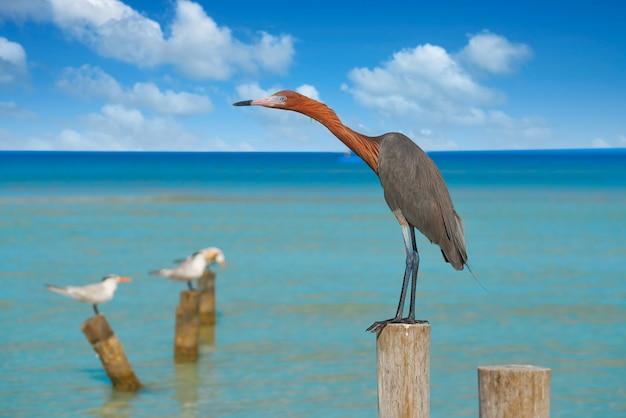 Egretta rufescens o uccello dell'airone di egret rossastro