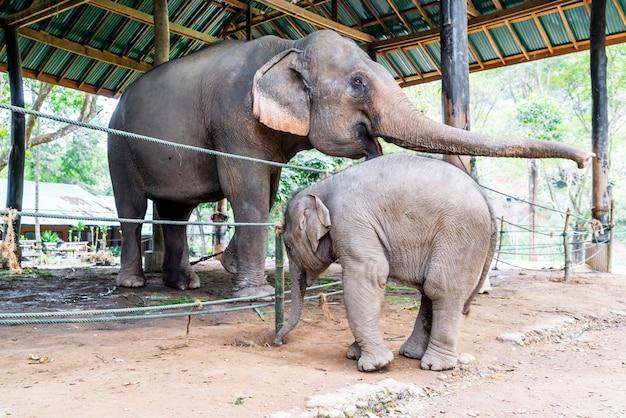 Elefante a chiang mai, thailandia