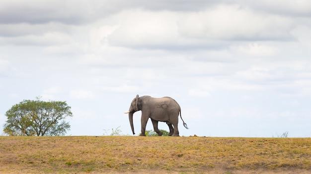 Elefante africano che cammina in lontananza