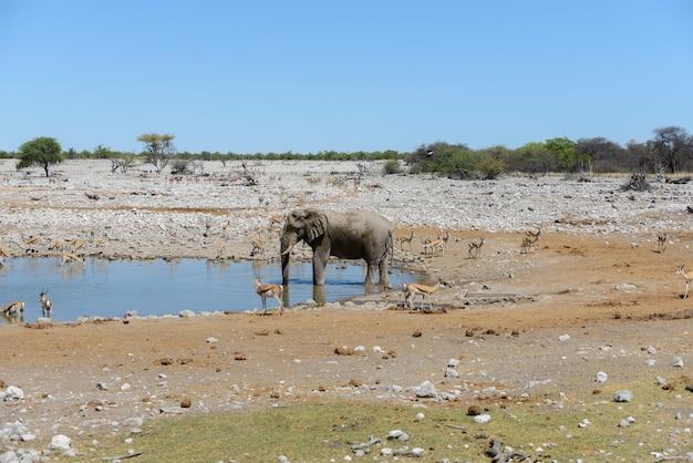 Elefante africano selvaggio sul waterhole nella savanna