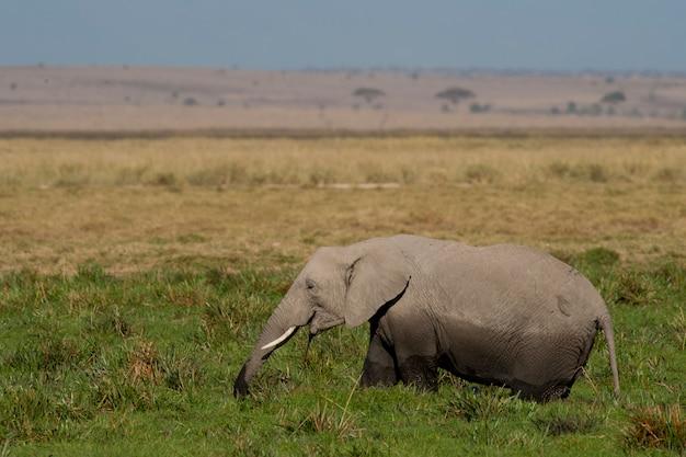 Elefante al pascolo nella savana