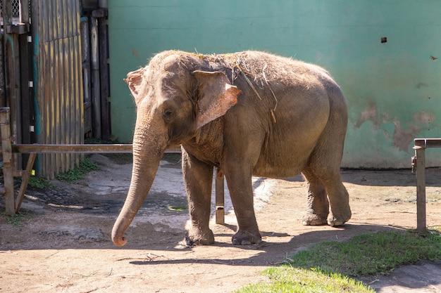 Elefante asiatico allo zoo di pomerode a santa catarina, brasile