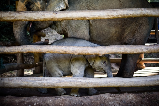 Elefante asiatico del bambino con la madre in gabbia di legno