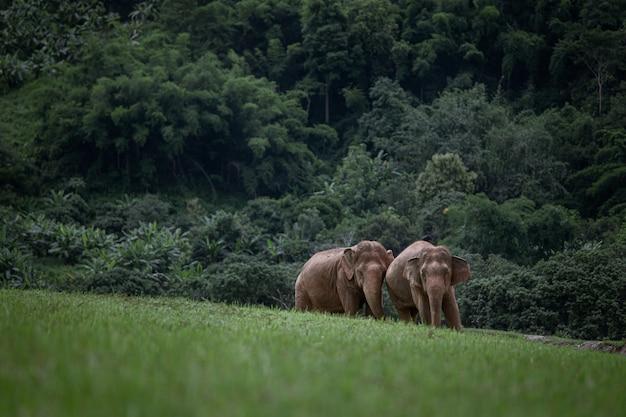 Elefante asiatico in una natura al parco naturale dell'elefante, chiang mai. tailandia.