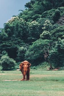 Elefante asiatico in una natura alla foresta profonda in tailandia