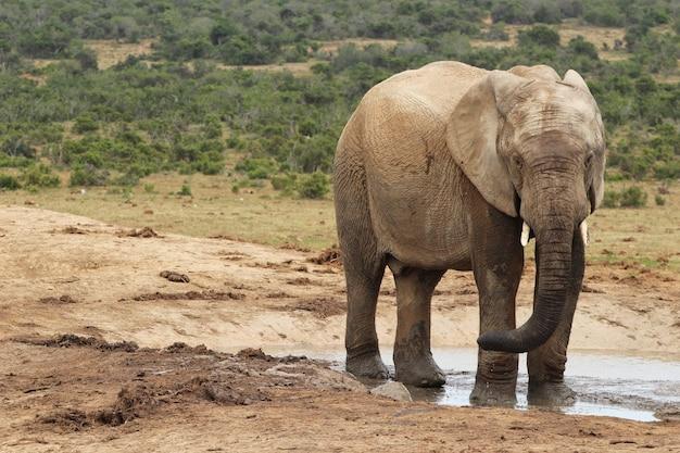 Elefante bagnato e fangoso che gioca in una pozza d'acqua nella giungla