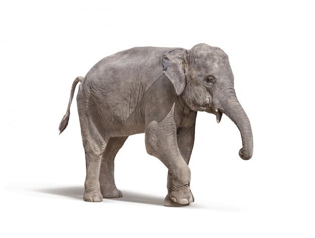 Elefante con la zanna fuori isolata su bianco