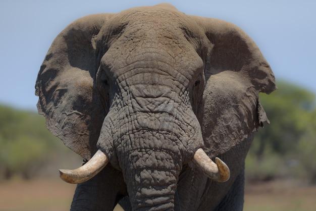 Elefante con uno sfondo sfocato