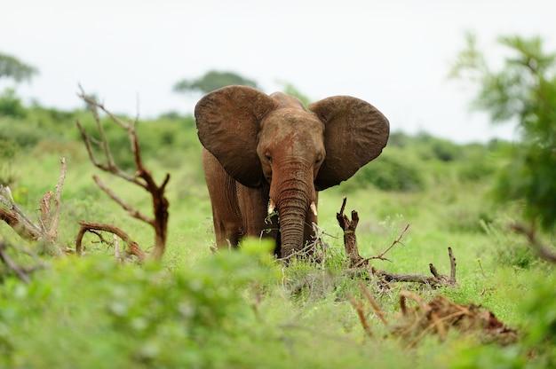 Elefante coperto di fango tra i ceppi di legno su un campo coperto di erba