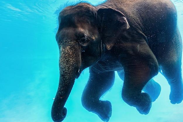 Elefante di nuoto sott'acqua. grande elefante