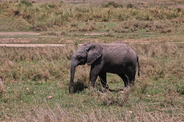 Elefante in safari in kenia e tanzania, africa