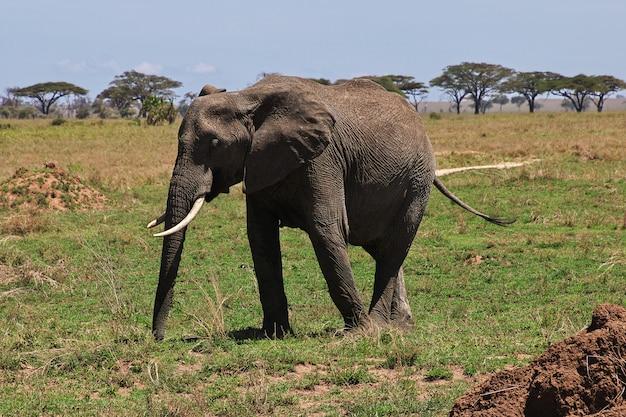 Elefante in safari in kenia e tanzania, africa