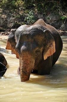 Elefante nel fiume