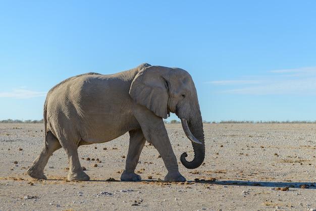 Elefante selvaggio che cammina nella savana africana