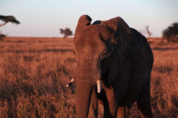 Elefante sulla savana in kenia e tanzania, africa