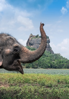 Elefante vicino alla fortezza della roccia del leone di sigiriya, sri lnka