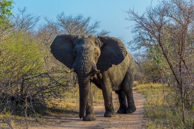 Elefanti africani in un safari attraverso il sudafrica nel kruger national park