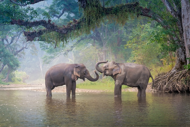 Elefanti asiatici in una foresta profonda del fiume naturale alla tailandia