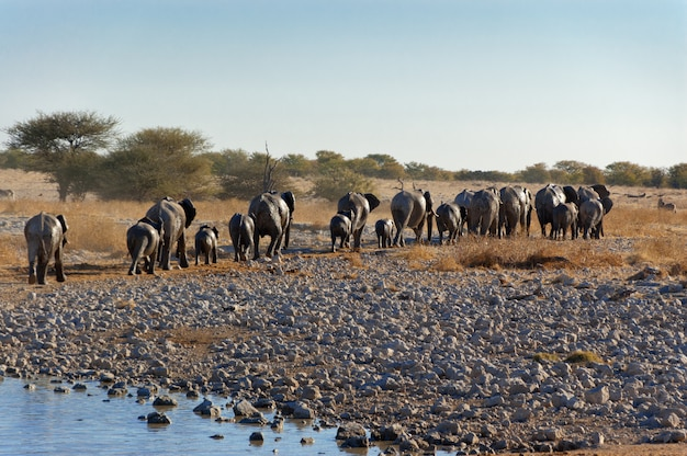 Elefanti che lasciano la pozza d'acqua. riserva naturale e faunistica africana, etosha, namibia