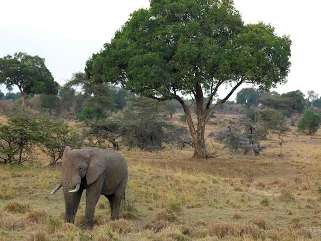 Elefanti in kenya africa