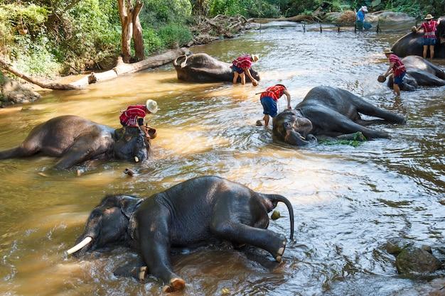 Elefanti tailandesi che prendono un bagno con il mahout nel campo dell'elefante di maesa, chiang mai, tailandia