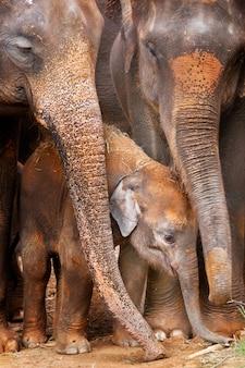 Elefantino asiatico