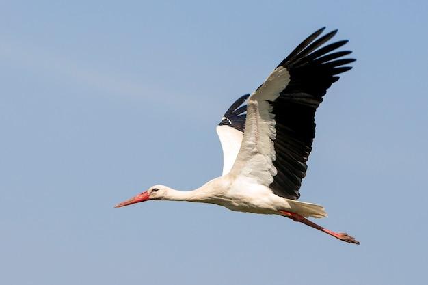 Elegante bellissimo uccello cicogna bianca con ali spiegate, coda nera e gambe lunghe che volano in alto nel cielo sereno blu chiaro luminoso. bellezza della natura, problemi ambientali e protezione della fauna selvatica.