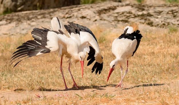 Elegante cicogna bianca