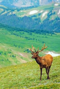 Elk sul prato di montagna