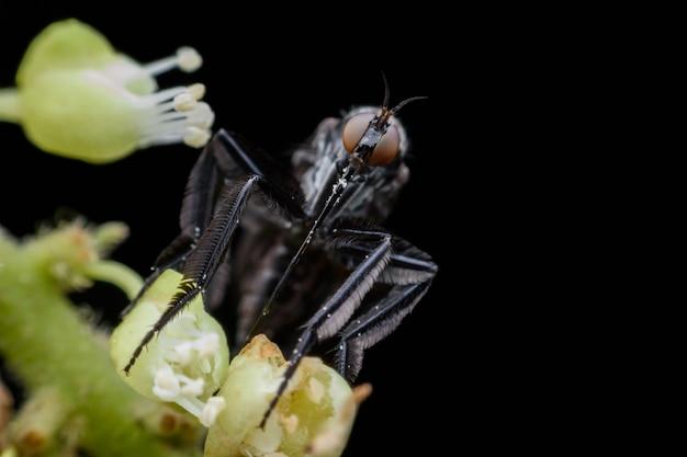 Empididae che raccoglie la melata dal fiore