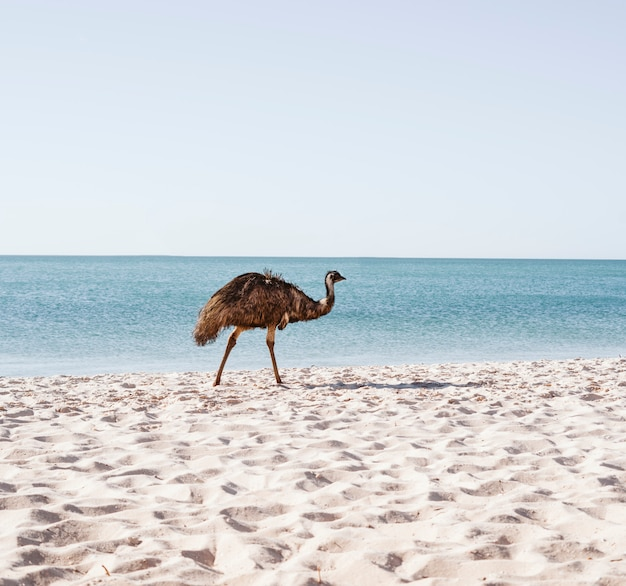 Emu australiano sulla spiaggia