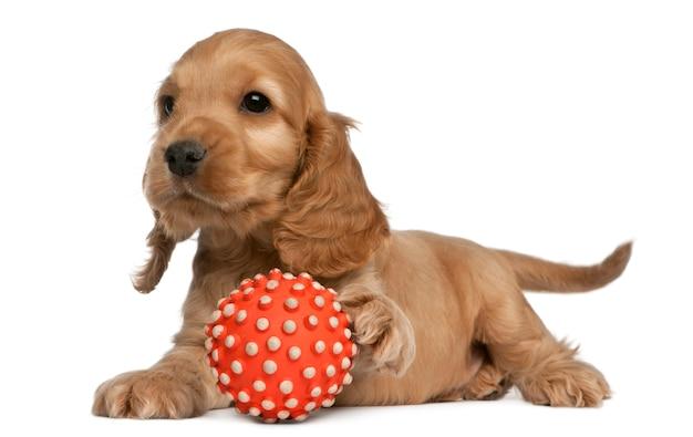 English cocker spaniel giocando con una palla (8 settimane)