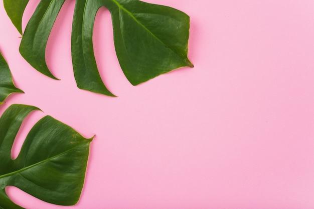 Enormi foglie di monstera