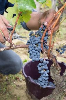 Equipaggi la mano che seleziona l'uva organica da tempo della raccolta della vigna alla campagna