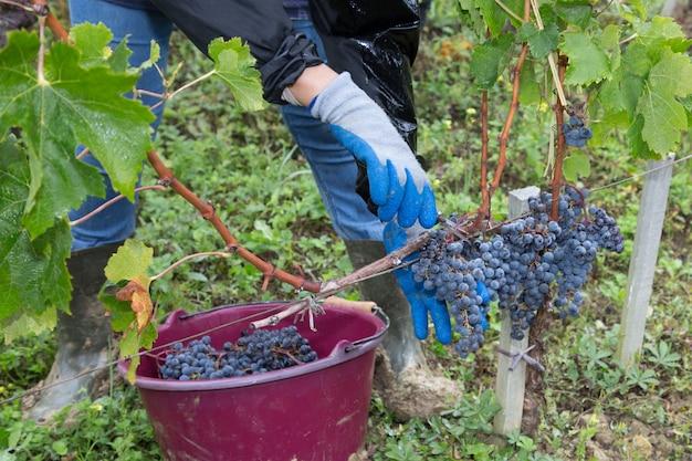 Equipaggi la mano che seleziona l'uva organica dalla vite il giorno del raccolto della vigna del giorno di autunno alla campagna