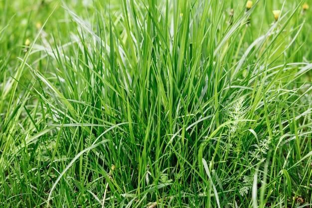Erba al mattino presto. concetto di giornata di sole. close-up di erba naturale